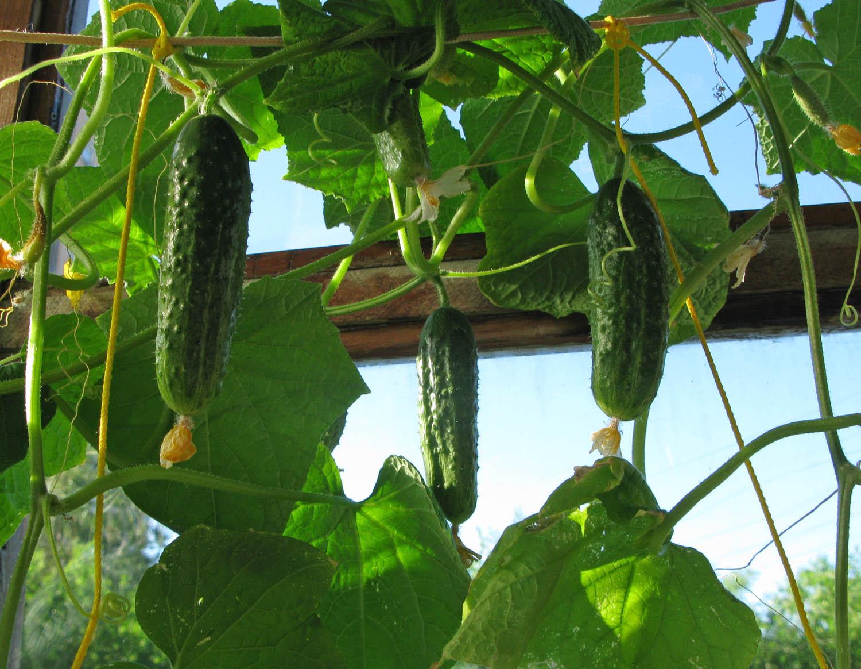 Выращиванье и уход за огурцами