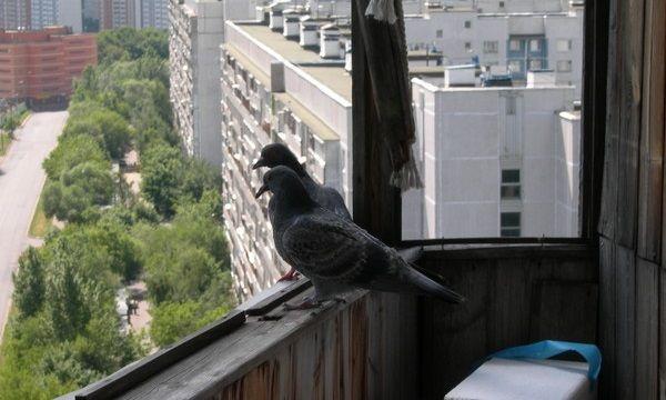 Что сделать чтобы голуби не садились на балкон