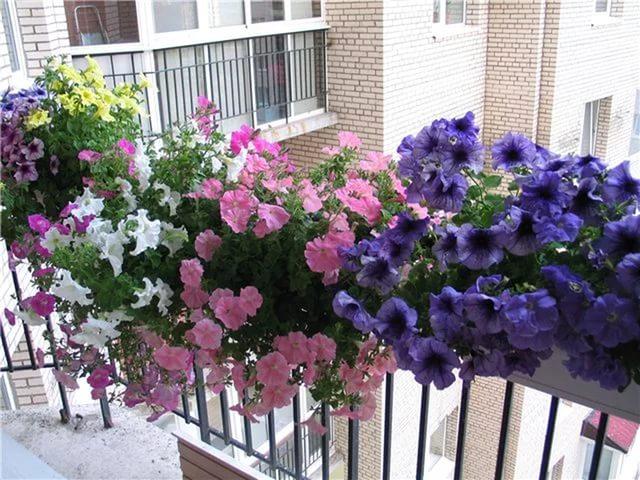 Петуния на балконе: посадка, выращивание, уход, оформление, .