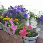 разноцветные петунии на балконе