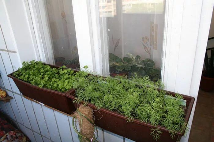 Укроп на балконе