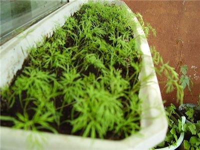 Зелень на балконе: выращивание лука, укропа, петрушки, салат.