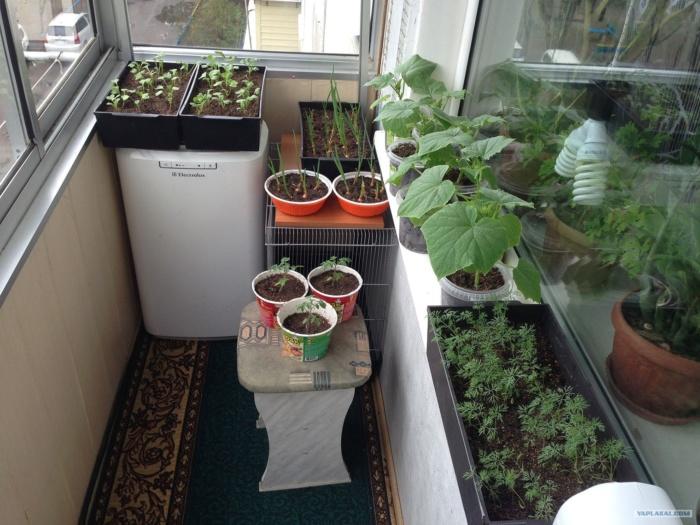 Овощи на балконе своими руками 93