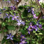 клематисы вьющиеся цветы для балкона