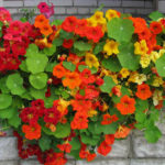 вьющиеся растения для балкона однолетние