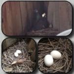 Голуби свили гнездо на балконе
