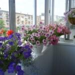 Флорибунда петуния на балконе