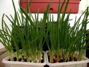 Выращивание зеленого лука на балконе