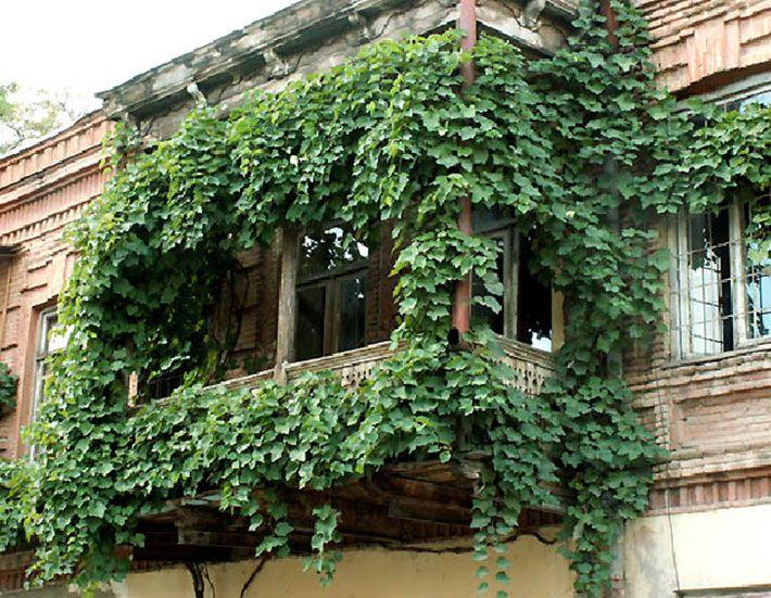 дикий виноград на балконе