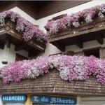 ампельные цветы розовые