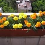Бархатцы на балкон