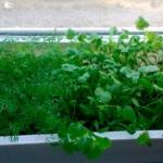 Укроп и петрушка на балконе