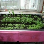 Выращивание укропа и другой зелени на балконе