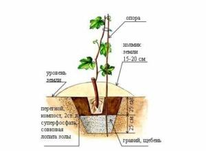 требования к почве винограда