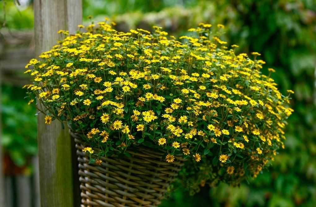 Фото желтые ампельные цветы