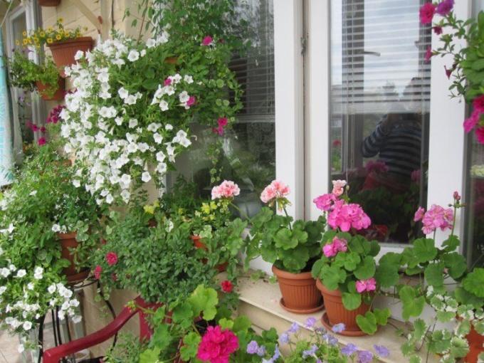 тенелюбивые растения на балкон