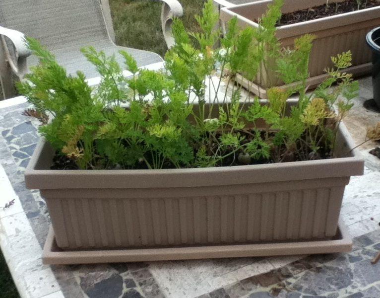 морковь на балконе